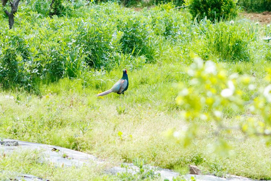 ▲途中、道路のすぐ脇に立派な雄のキジを発見。どうやら、対岸にいるもう一羽の雄と縄張り争い中のよう
