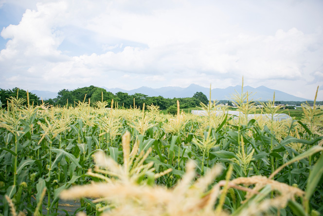その畑で、夏はトウモロコシを栽培。『原村高原朝市』や、北杜市のスーパー『ひまわり市場』などに卸しているそう。