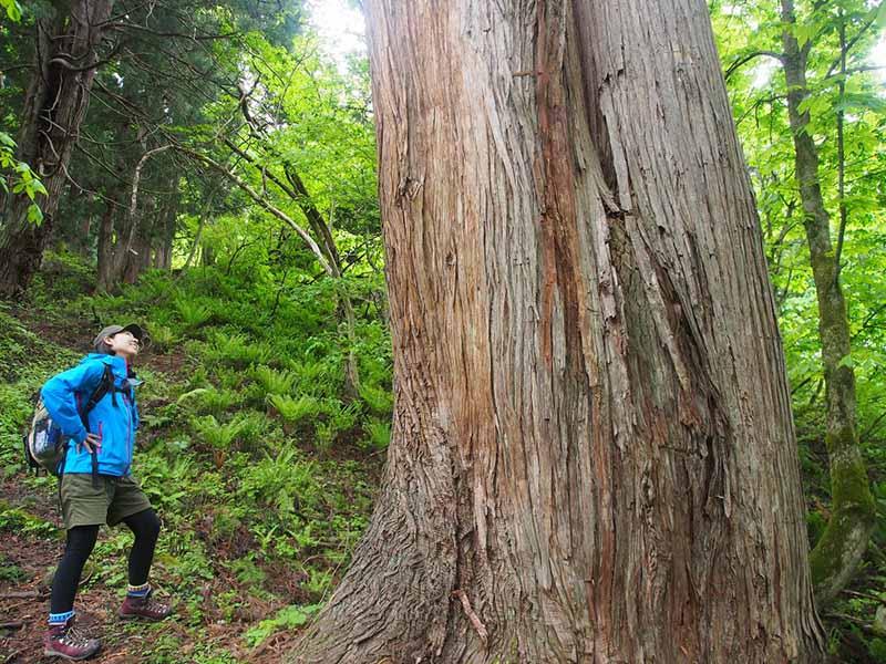 杉の巨木がそこかしこにあります