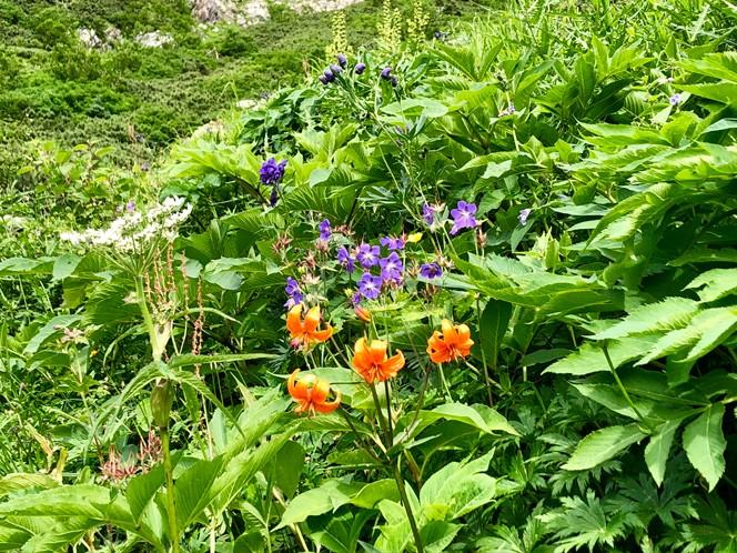 ちょうど見頃を迎えていた、北沢カールのお花畑