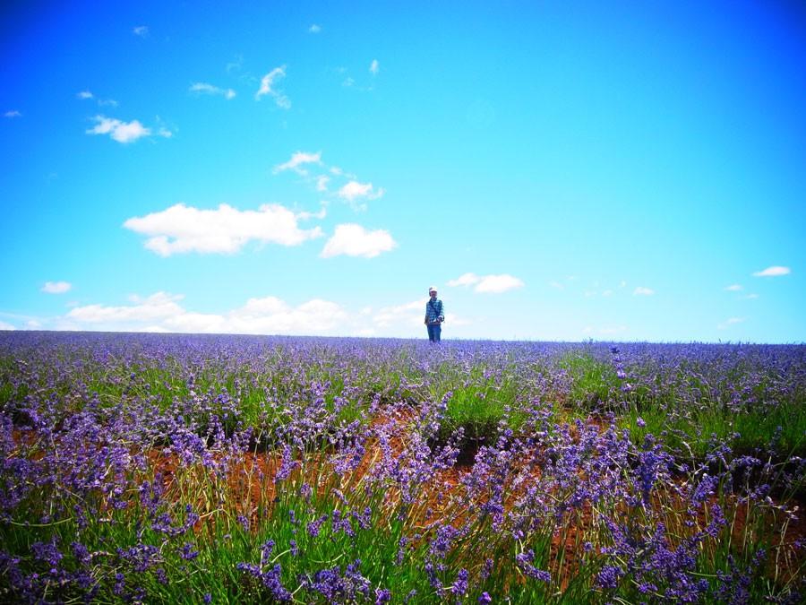 タスマニア島の大自然のなかにある、巨大なラベンダー畑。このラベンダーの花と葉からも精油が採れる