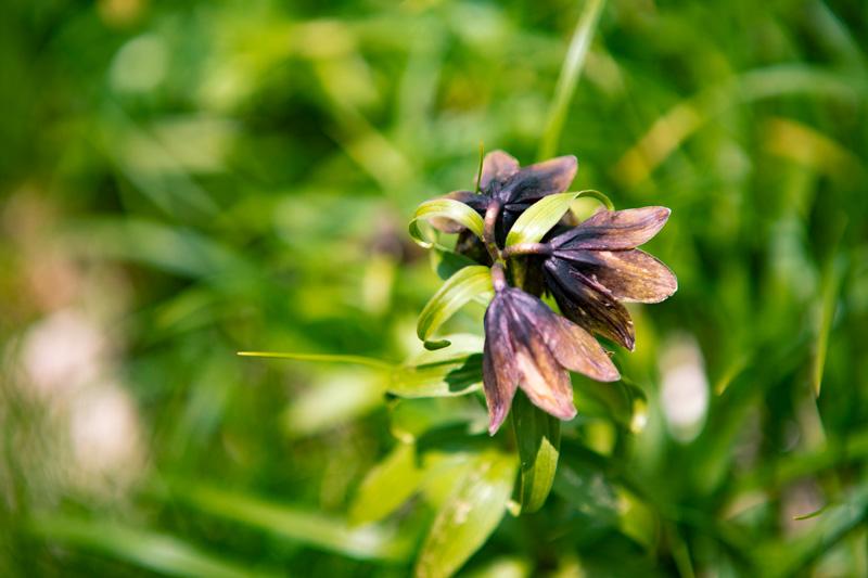 クロユリのお花です。