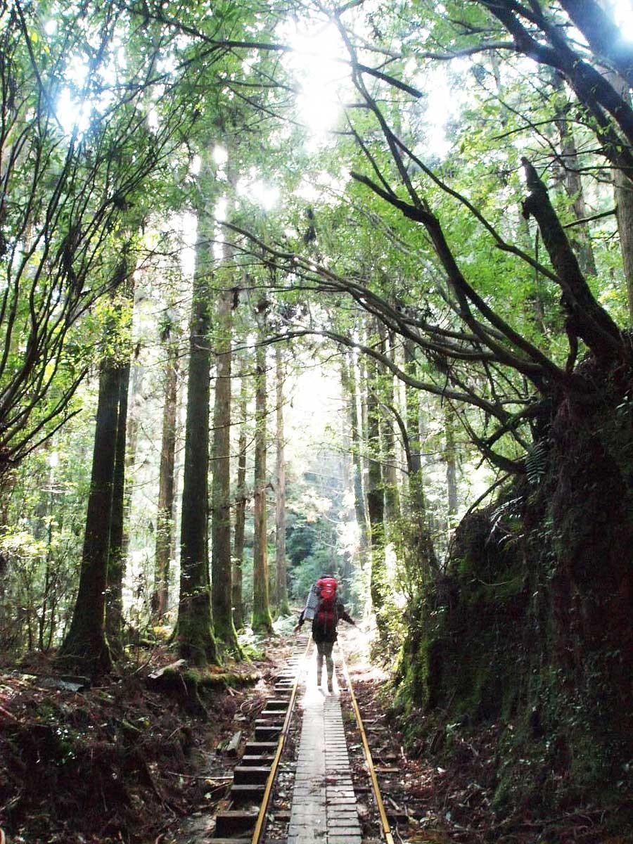 縄文杉へ向かう途中の、トロッコ道。ピーク期の2008年GWには、1日に1000人以上が歩いたという驚異的な記録も