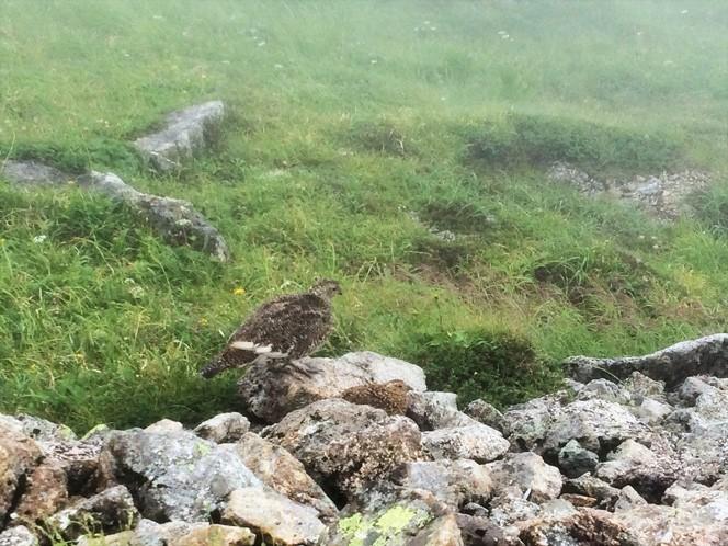 以前、北アルプスの五色ヶ原へ向かう途中に出会った雷鳥親子。外敵が出てこないからか、ガスに覆われ強風が吹き抜ける稜線で休憩していました