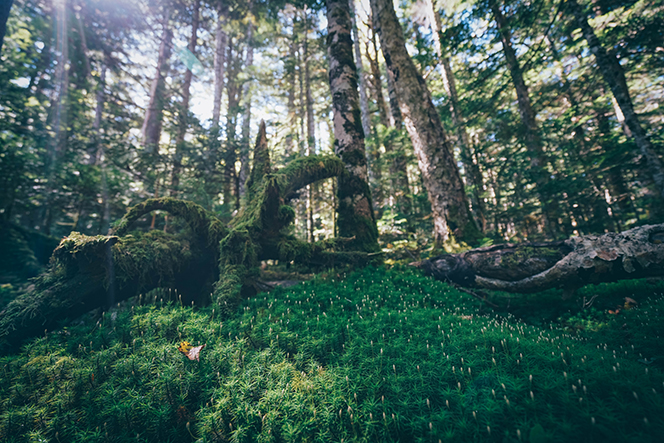 400種類以上の苔が生息するという白駒の原生林