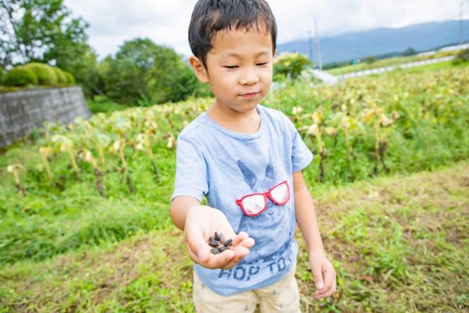 こぼれてしまった種に気が付いて、ひとつひとつ拾う子どもたち。この種こそが、ひまわりオイルの原料に。