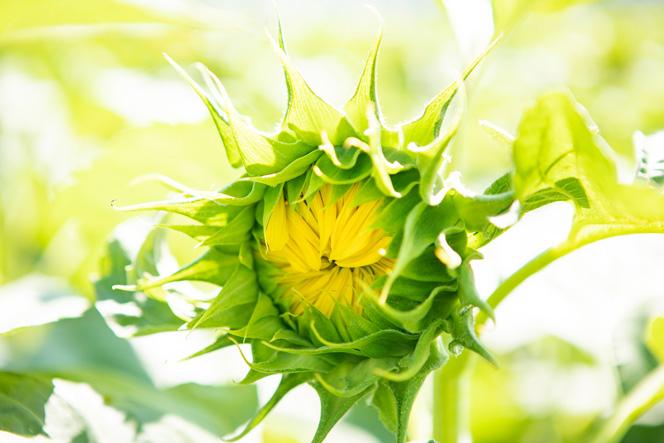 """花開く前のひまわり。日頃から観察していると、わたしたちが知らない""""姿""""に気付くことができる"""