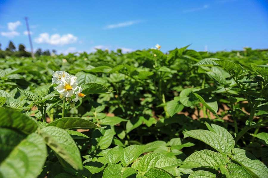 新緑の季節。ジャガイモ畑はもはや美しさすら感じます