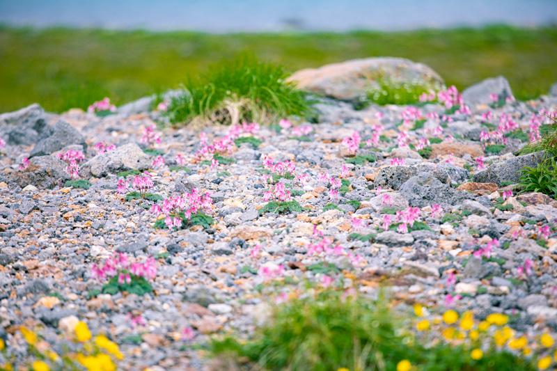 取材時、乗鞍岳には希少なはずのコマクサがたくさん咲いていました。
