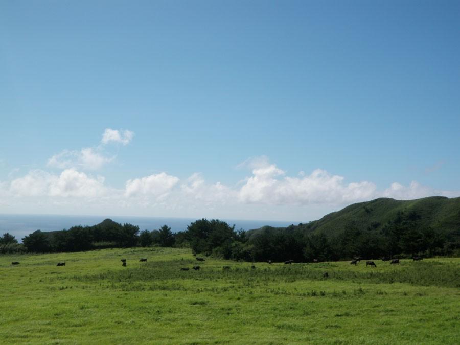 口之島には牛がいっぱいいる