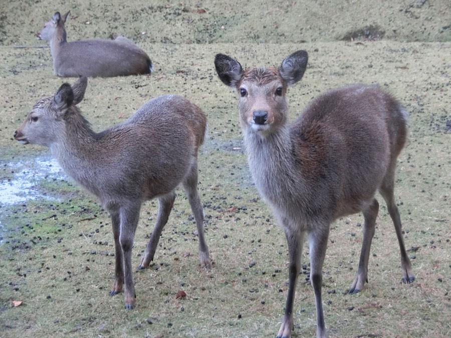 金華山島には野生のシカがいる