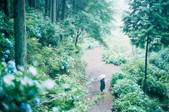 あじさい山は、静かな早朝が狙い目。霧雨に包まれた森は幻想的な雰囲気に。
